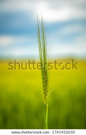 green wheat isolated on blurred background of wheat field  #1761432650