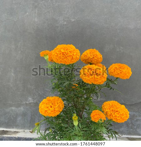 Beautiful Bloomging Merigold - Tagetes is a genus of annual or perennial, mostly herbaceous plants in the sunflower family. #1761448097