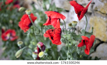 Green Poppy seed pods and red Poppies at the side of the road #1761500246
