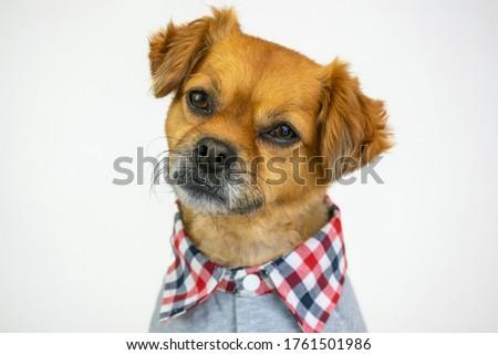 Cute dog wearing grey preppy sweater