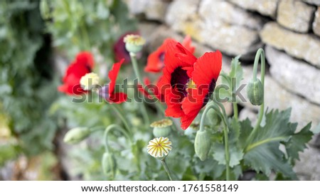Green Poppy seed pods and red Poppies at the side of the road #1761558149