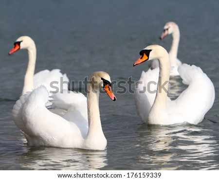 White swans in the water. #176159339