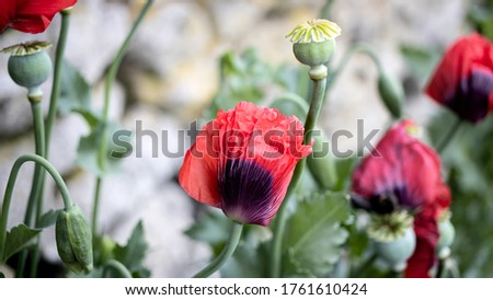 Green Poppy seed pods and red Poppies at the side of the road #1761610424
