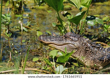 American Alligator in Natural Habitat Swamp Southern United States Wild Animals Reptile in Nature Among Plants Near Water - Close Up Alligator Wildlife - Big Scary Animals Lizard Monster Green Plants