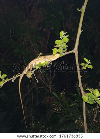 Chameleon a reptile picture in night