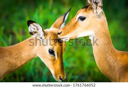 Impala antelope nature scene. Young female impala antelopes. Impala antelopes portrait #1761766052