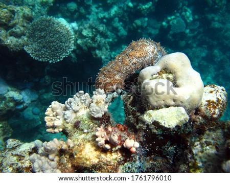Graeffe's sea cucumber; Echinoderm - type Echinoderm; Holothuria - Holothuridea; Holoturids - Holothuriidae; Graffe's sea cucumber. Royalty-Free Stock Photo #1761796010