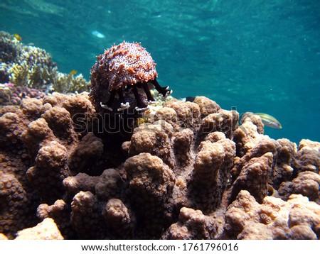 Graeffe's sea cucumber; Echinoderm - type Echinoderm; Holothuria - Holothuridea; Holoturids - Holothuriidae; Graffe's sea cucumber. Royalty-Free Stock Photo #1761796016