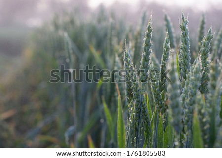 Spikelets of wheat are covered with morning dew. Agriculture, wheat crops in the field. Selective focus. #1761805583