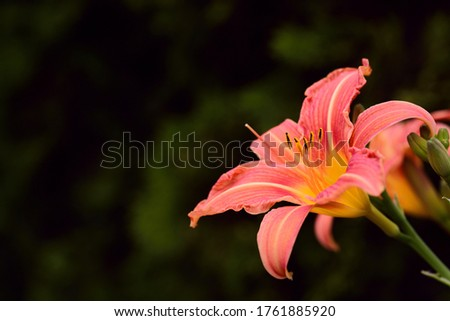 An orange day lily with large petals protrudes into the picture from the side, against a dark background in spring