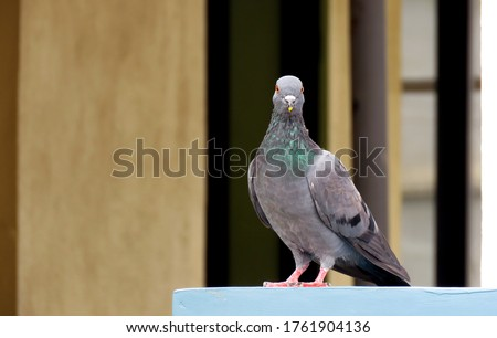 Pigeon on the wall,Racing homer pigeon,Great details of Details the bird.                               #1761904136