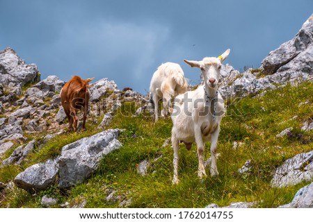 Mount Aizkorri 1523 meters, the highest in Guipuzcoa. Basque Country. Ascent through San Adrian and return through the Oltza fields. A group of free goats on top of the mount #1762014755