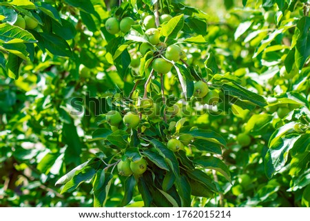 Young fruits of apples on a tree branch, picture for design