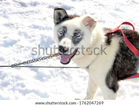 close up picture of a alaskan husky white dog with blue eyes