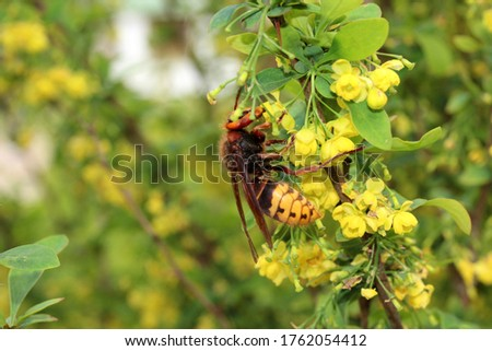 Hornet insect drinks the nectar of barberry.  The hornet is a dangerous insect