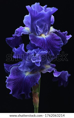 Irises are perennial plants, growing from creeping rhizomes (rhizomatous irises) or, in drier climates.