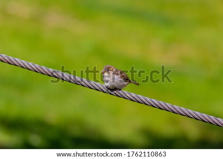 Picture of a small sparrow sitting on a wire cable and observing the area during daytime