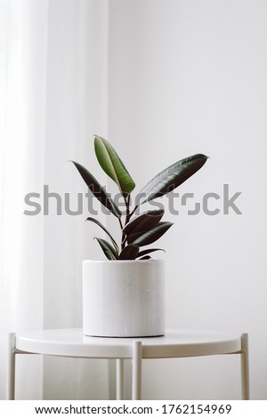 Modern houseplants with Ficus plant in a white pot nearly window at the corner of the room , minimal creative home decor concept, Ficus Elastica Burgundy or Rubber Plant. Royalty-Free Stock Photo #1762154969