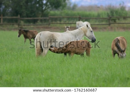 The white horse of the wetlands. As an adult he turns white. Picture of a foal suckling.
