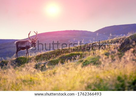 Reindeer grazing in a meadow in Lapland  during sunset Royalty-Free Stock Photo #1762366493