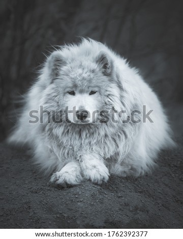 Samoyed husky black and white photo