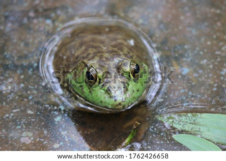 Close up of large green bullfrog sitting in pond water. #1762426658