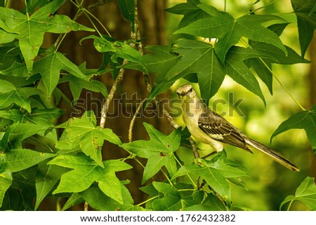 Northern Mockingbird in a North Carolina Woodland.