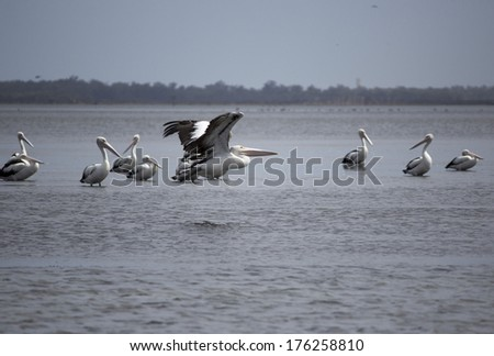 Graceful majestic large white pelicans  pelecanidae species pelecaniformes  on the sandy mud flats of the Leschenault Estuary near Bunbury Western Australia  on a cloudy morning in late summer. #176258810