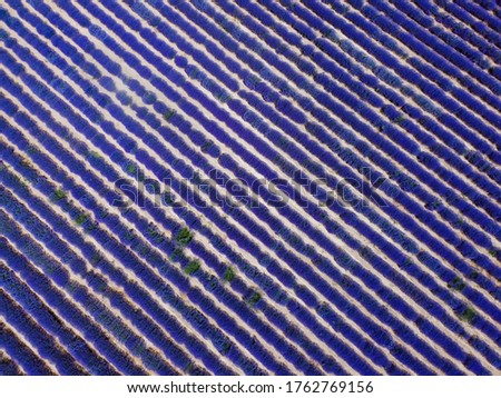 Lavender field landscape drone shot with magenta colors. Aerial top day view of blooming Lavandula flowers with violet bushes at an agricultural terrain in Chalkidiki, Greece.