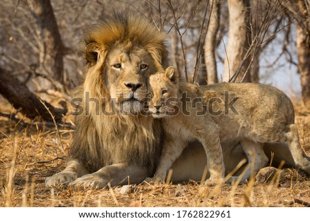 Father and baby lion horizontal portrait with the male lion lying on yellow dry grass and the lion cub standing closely next to him in Kruger Park South Africa #1762822961
