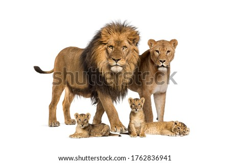Family of lion, adult and cub, isolated. Wild cat Royalty-Free Stock Photo #1762836941