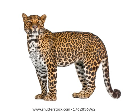 Portrait of leopard, Panthera pardus, standing against white background, studio shot, remasterized #1762836962