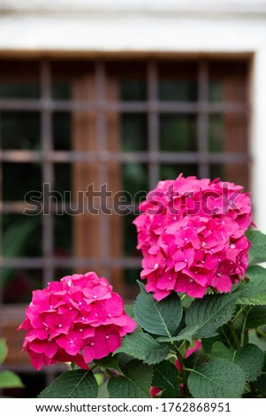 bush of beautiful flowers in front of the window with metal bars, hydrangea flowers bush. beautiful flower of ortensie in front of the brown window with metal bars
