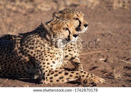 These cheetahs are adult male brothers. Picture taken in Namibia at sundown