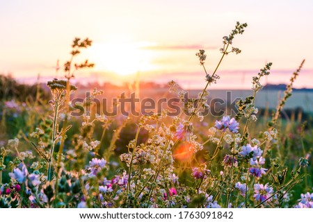 Beautiful wildflowers on a green meadow. Warm summer evening Royalty-Free Stock Photo #1763091842