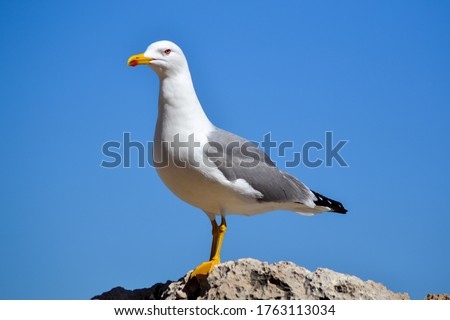 Seagull bird or seabird standing feet on sea beach. Close up view of white gray bird seagull in sea rock. Wild seagull portrait on natural blue sky background. Sea gull bird animal closeup isolated Royalty-Free Stock Photo #1763113034