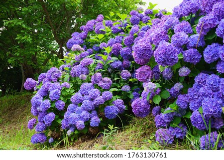 June 20, 2020: Take a picture of hydrangea from a rural village in Mishima City, Shizuoka Prefecture