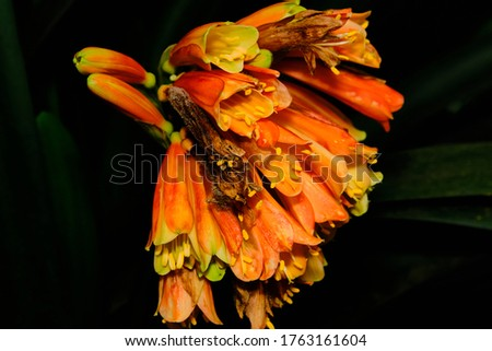 Alstroemeriaceae is a family of flowering plants, with 254 known species in four genera, almost entirely native to the Americas, from Central America to southern South America. One species of Luzuriag #1763161604