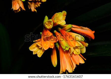 Alstroemeriaceae is a family of flowering plants, with 254 known species in four genera, almost entirely native to the Americas, from Central America to southern South America. One species of Luzuriag #1763161607