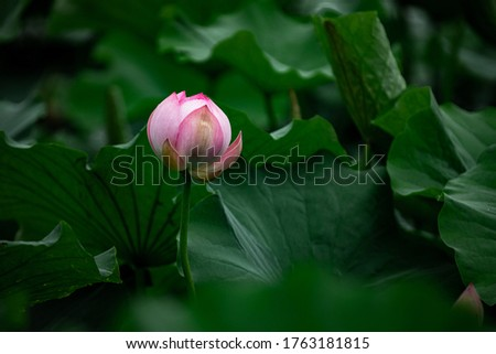 The Lotus radiates the energy of wisdom, harmony, perfection and spiritual peace. Excellent photos of closed Lotus buds and open pink flowers.