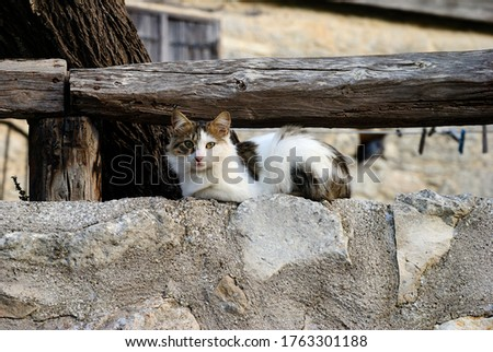 A semi-long-haired Cypriot cat sitting on a wall in a village in Cyprus