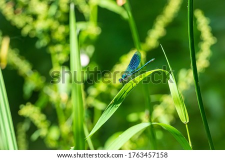 Close-up picture of a Dragonfly on a green leaf. beautiful demoiselle (Calopteryx virgo). All green background. High quality photo