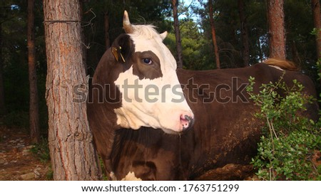 cow in the woods cow in the mountain close up the head of a cow closeup dairy cow farm animals farm animal milk animal, animals, wildlife, life, wild nature forest animal fold animal barn cowshed cows #1763751299
