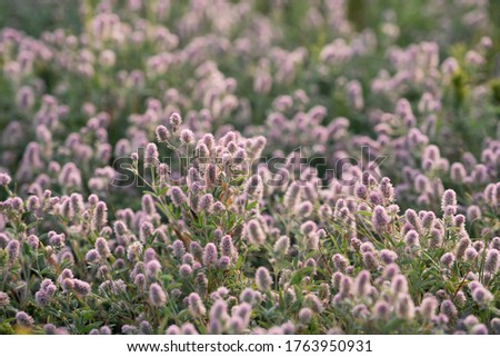 Trifolium arvense , commonly known as hare's-foot clover, rabbitfoot clover, stone clover or oldfield clover. Place for text. #1763950931