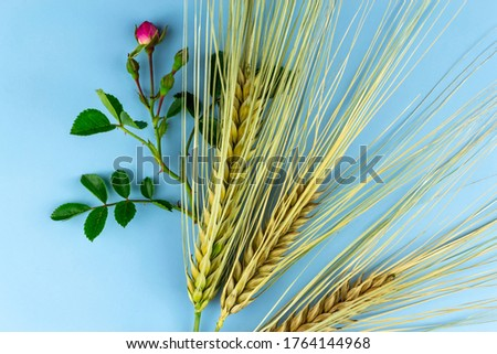 Spikelets of wheat and a rose branch on a blue background. #1764144968