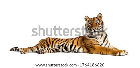 Tiger lying down isolated on white Royalty-Free Stock Photo #1764186620