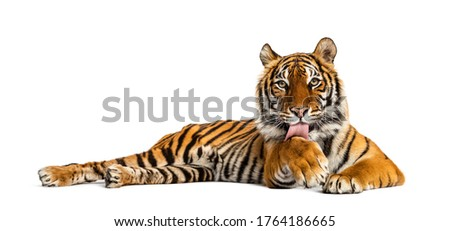 Tiger lying down cleanning itself, isolated on white