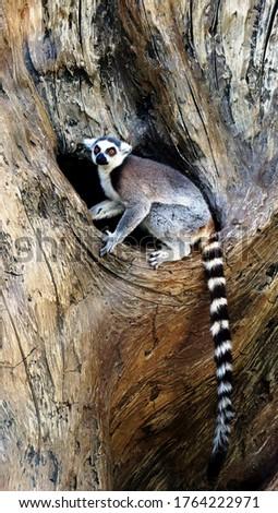 Ring-tailed Lemur (lemur catta) in zoo on big tree hollow. Madagascar lemur animal looking. Portrait of lemur katta long tail sitting in wooden tree trunk in wild nature. Cute leemur of lemuriformes