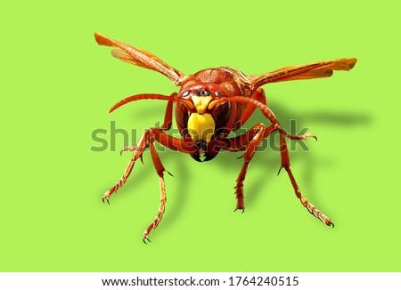 Murder hornet vespa mandarinia Giant asian hornet known as killer bee
