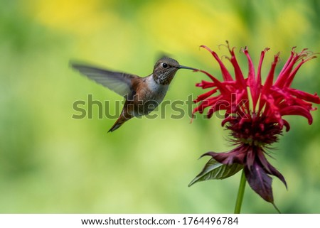 Female Rufous hummingbird hovering and drinking nectar from a bee balm plant.